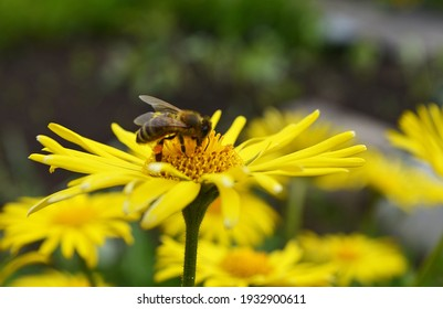 A bee flies up to a yellow flower, pollen collection, melliferous plants, flowering, honey, wildlife, blurred