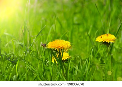 bee in flight and dandelion flower close up on a green glade, meadow. In the meadow grass and dandelions yellow flowers. Spring bright sunny day. The awakening of nature.