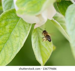 bee in flight in nature. macro