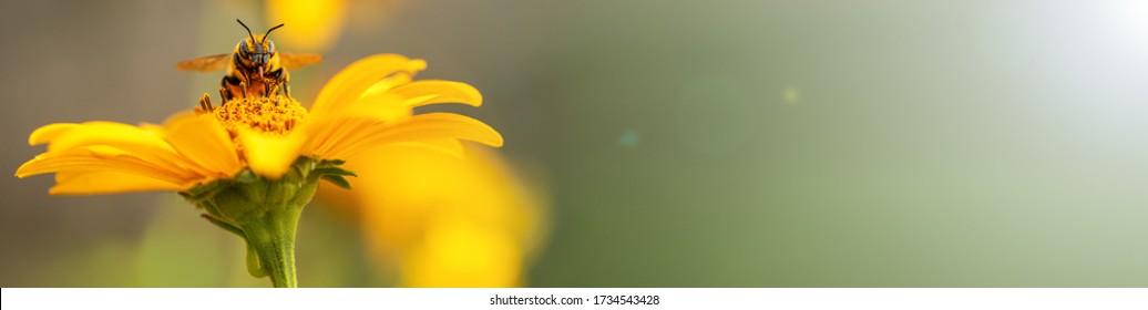 Biene und Blume. Banner. An einem sonnigen hellen Tag ist eine große gestreifte Biene, die Pollen auf einer gelben Blume sammelt. Makrohorizontale Fotografie. Sommer und Frühling
