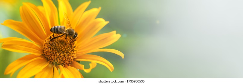 Bee and flower. Banner. Close up of a large striped bee collecting pollen on a yellow flower on a Sunny bright day. Summer and spring backgrounds