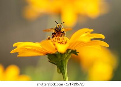 Biene und Blume. Nahaufnahme einer großen gestreiften Biene, die Pollen auf einer gelben Blume an einem sonnigen hellen Tag sammelt. Makrohorizontale Fotografie. Sommer- und Frühjahrshintergrund