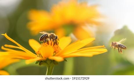 Biene und Blume. Nahaufnahme einer großen gestreiften Biene sammelt Honig auf einer gelben Blume an einem sonnigen, hellen Tag. Makrohorizontale Fotografie. Sommer- und Frühjahrshintergrund