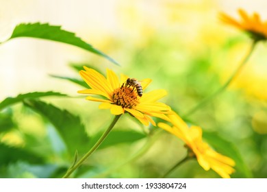 Bee and flower. Close up of a large striped bee collecting pollen on a yellow flower on a Sunny day on a green background. A bee collects honey. Summer and spring backgrounds