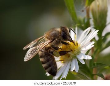 Bee in the flower (Macro)