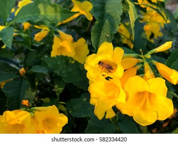 Yellow trumpet bush images stock photos vectors shutterstock bee with flower in this morning yellow elder trumpetbush trumpetflower yellow trumpet mightylinksfo Choice Image