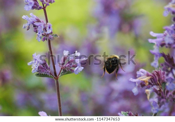 Bee fly away from the purple flowers
