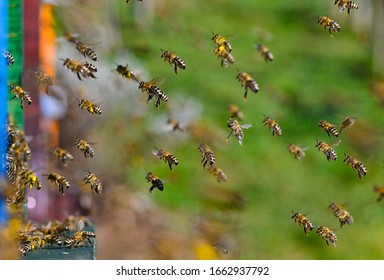 bee fly to the hive with pollen