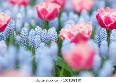 Bee flying among pink and white fringed tulips and blue grape hyacinths (muscari armeniacum). Close-up, selective focus, spring concept