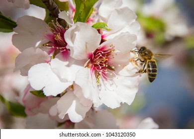 A bee flying around the almond blossom