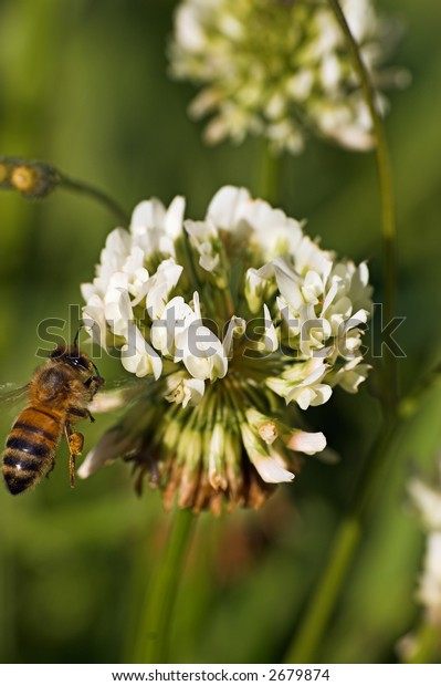 bee flying up to a clover flower