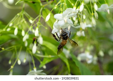 Bee flying collecting pollen at white flower. Bee flying over the white flower in natural green blur background.