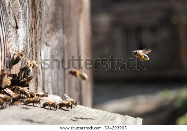 Bee flying to hive. The bees enter the hive.