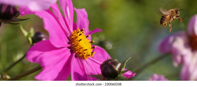 Bee flying from a Mexican Aster after collecting honey at the flower