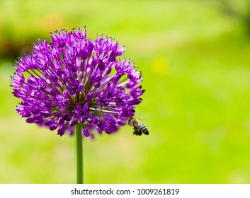 A bee is flying to the purple allium for nectar