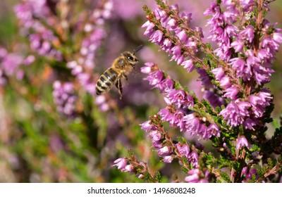 Bee flying towards heather flowers