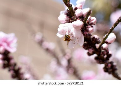 Bee flying upside down pollenating pink blossom