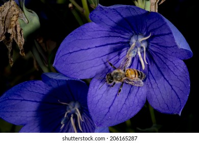 bee flying to you from violet flower