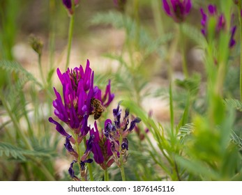 A bee forages for nectar on a beautiful purple mouse pea flower close-up, the grass in the background blurred. - Shutterstock ID 1876145116
