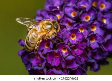A bee foraging on a butterfly-bush flower