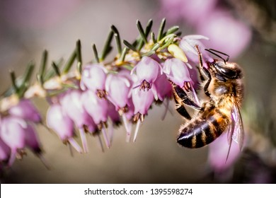 Bee foraging on a heather flower
