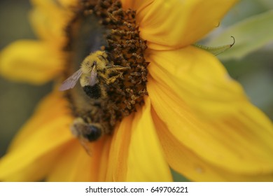 Bee foraging pollen in a sunflower.