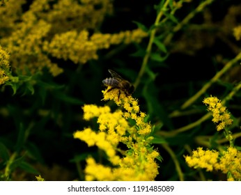 A bee foraging yellow flowers ina garden