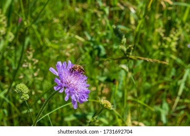 Bee full of polen on a blooming flower on the grass fields in Switzerland