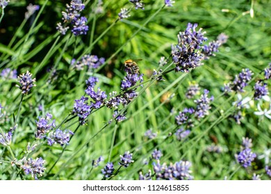 Bee gathering on lavender bloom in the garden on a sunny summer day
