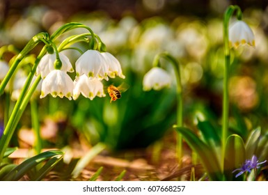 bee gathering pollen from first flowers in springtime. spring snowflake also called Leucojum on a blurred background of forest meadow in mountains. snowbell closeup.