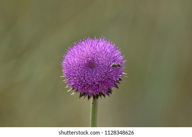 A bee gathering pollen from a purple thistle flower