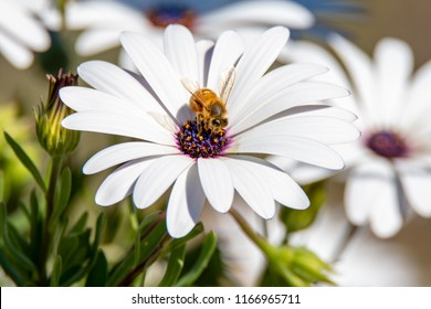 Bee Gathering Pollen from the White Osteospermums  - Daisies In the sand dunes at Ocean Beach, Umina Beach, NSW, Australia.