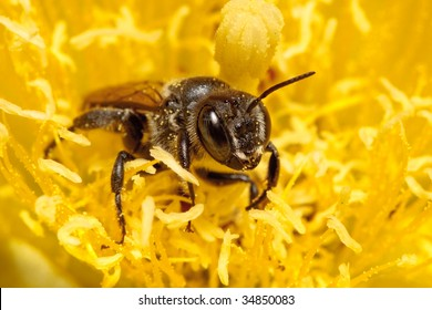 Bee gathering pollen from yellow prickly pear cactus flower.