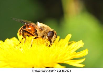 Bee gathers nectar