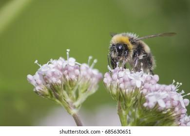 Bee harvesting pollen on pink plant