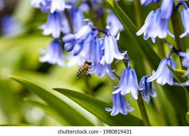 The bee has to go deep into the calyx to get to the pollen