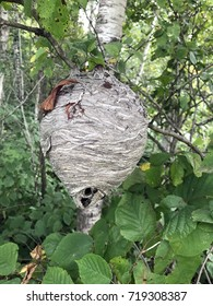 Bee hive hanging from a tree in the Wisconsin wilderness