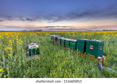 Bee hives in a Canola field at sunset near Winschoten in the Province of Groningen, Netherlands
