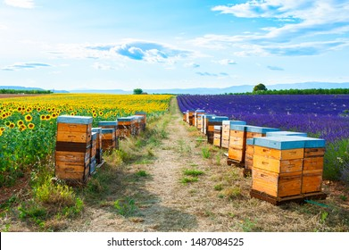 Bee hives in a lavender and sunflower fields near Valensole, Provence, France. Beautiful summer landscape