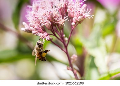 Bee hold on to Joe Pye weed flowers colleting pollen.