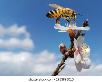bee honey almond almods tree flower background srping isolated blue sky  background