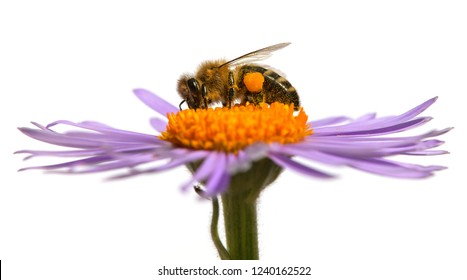 bee or honeybee in Latin Apis Mellifera, european or western honey bee sitting on the violet flower isolated on white background