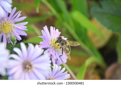 Bee or honeybee on flower collects nectar. Honeybee on flower pollen with space blur background for text. european or western honey bee sitting on the violet or blue flower.