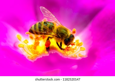 Bee or Honeybee Pollinating Flowers. Honey Bee collecting pollen on pink flower. Bee on flower close up macro while collecting pollen. Work, insect, perfectionism and harvesting. Beautiful insect