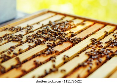 Bee honeycombs with honey and bees. Apiculture.
