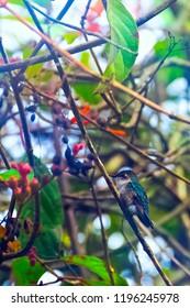 Bee hummingbird, zunzuncito or Helena hummingbird (Mellisuga helenae) is a species of hummingbird endemic to Cuba which is the world's smallest bird - Peninsula de Zapata / Zapata Swamp, Cuba