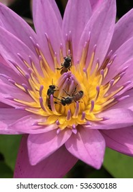 Bee inside pink lotus on background