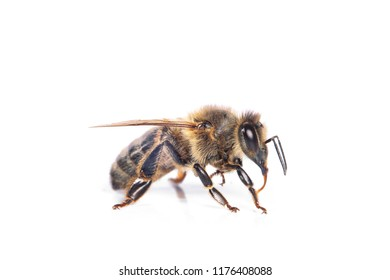 bee isolated on the white background
