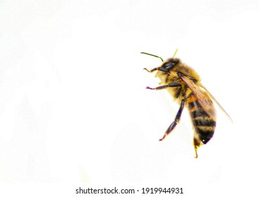 A bee isolated on white background