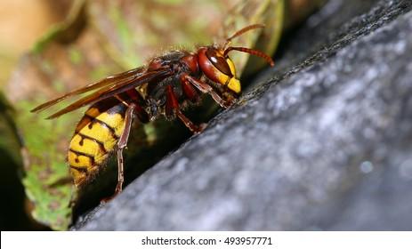 Bee killer hornet macro portrait
